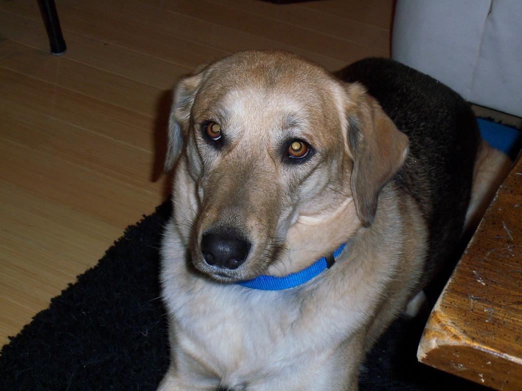 This entry was posted in German Shepherd Mix , Labrador Retriever Mix